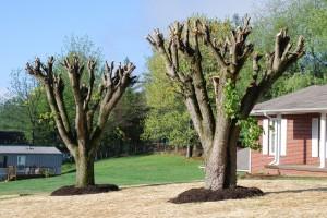 marietta tree topping