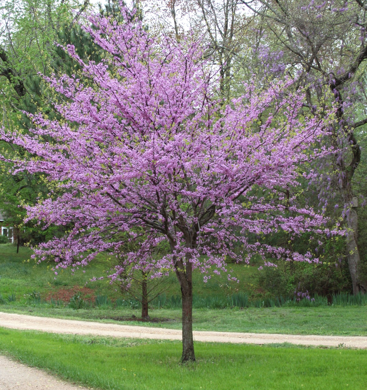 Looking To Plant A Spring Tree What Tucker Tree Professionals